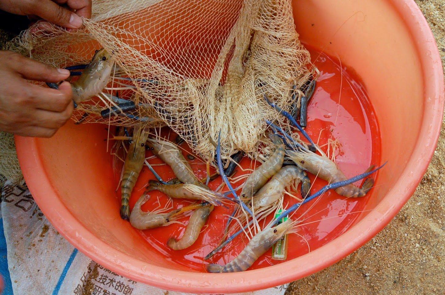 006_prawns_from_covered_open_dam_RAS